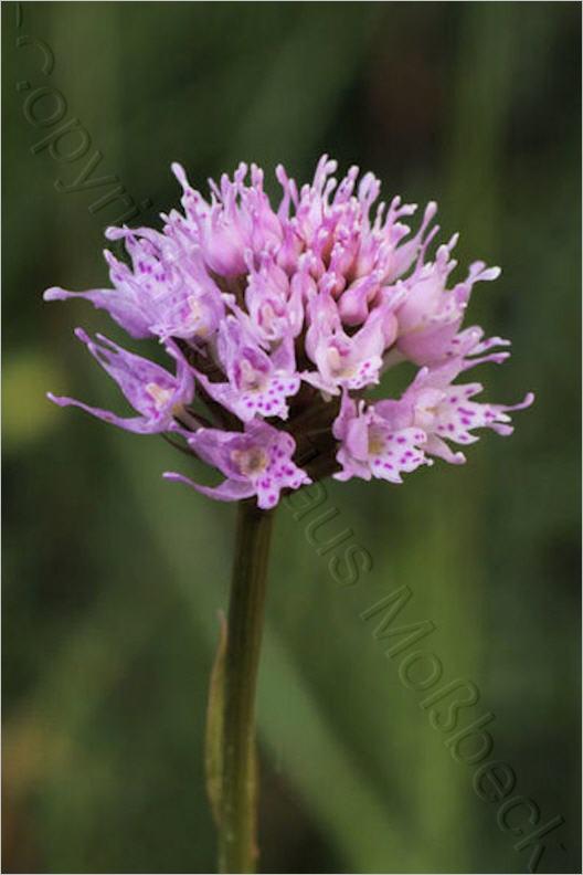 wildwachsende orchideen in deutschland